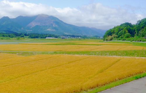 □麦畑.jpg