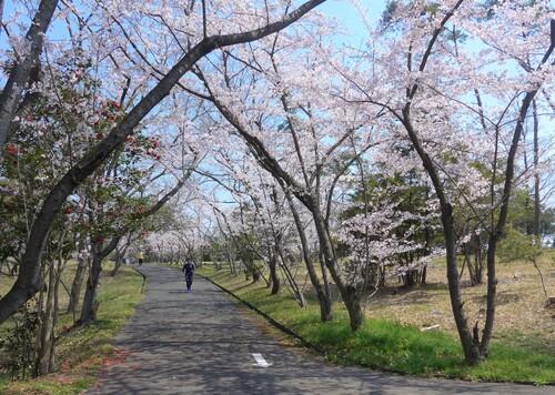 〇桜1.jpg