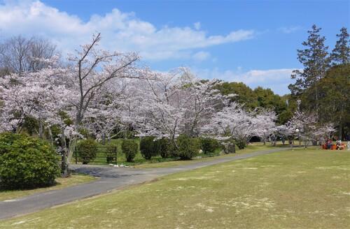 〇桜3.jpg