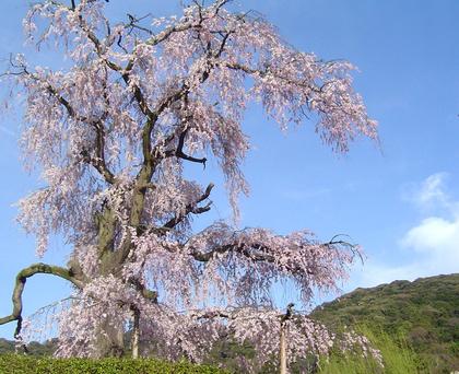 八坂しだれ桜_1.JPG